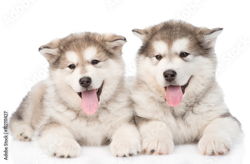 two happy alaskan malamute puppies. isolated on white background Canvas Print