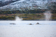 Large Humpback Whales In The A...