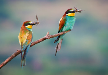 Two bee-eater