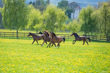 Obraz na Szkle Wiejski galopoierende Jungpferde auf der Weide