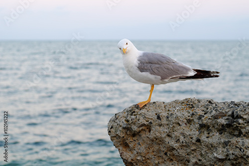 Poster Nature Seagull on evening sea background