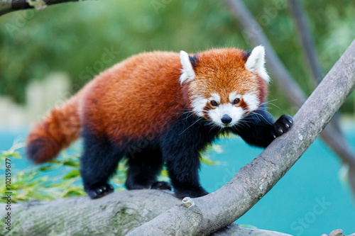 Cute red panda Canvas Print