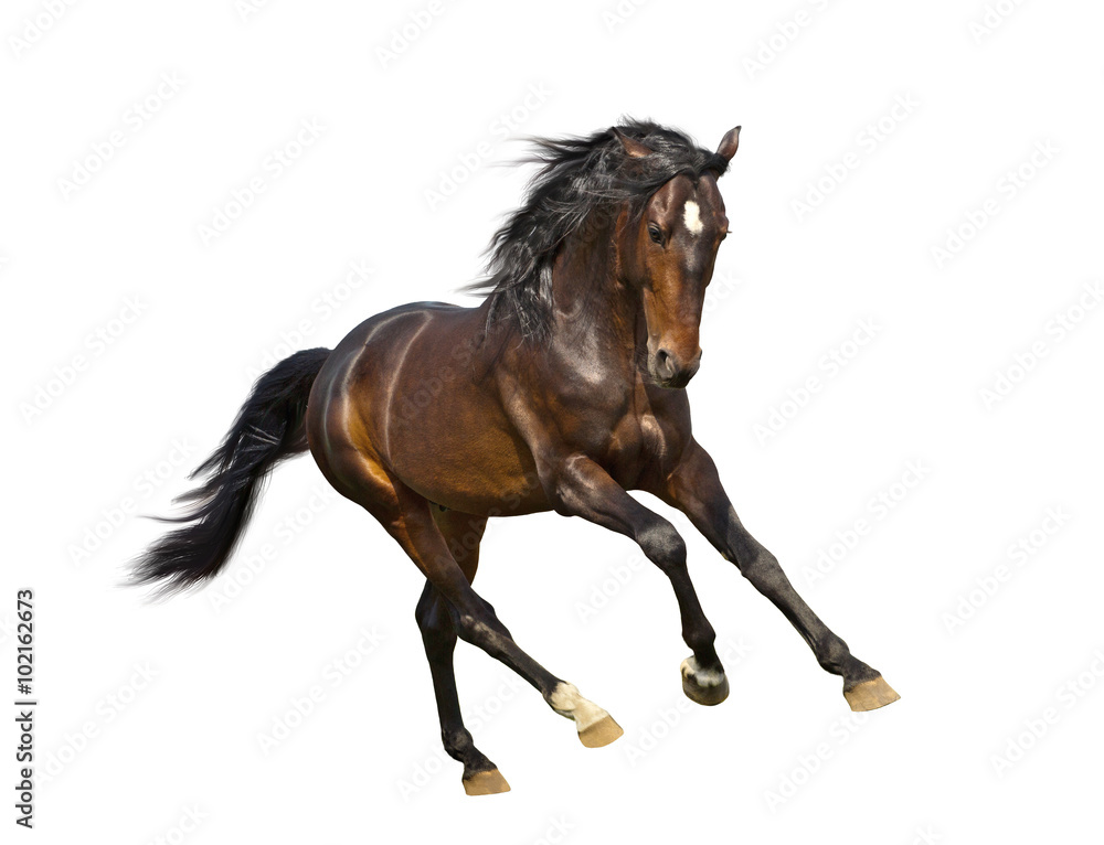 Fototapety, obrazy: isolate of the brown horse