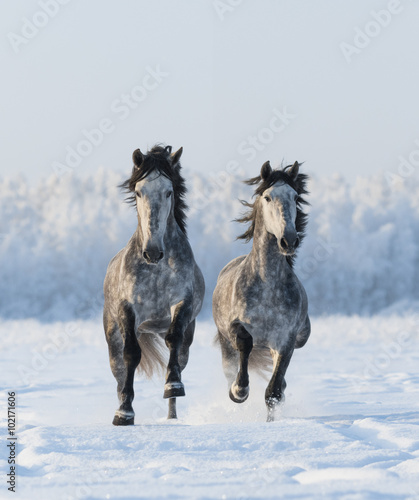 Cuadros en Lienzo Two galloping Andalusian stallions
