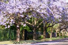 Purple Jacaranda Trees In Full Bloom
