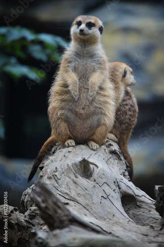Foto op Canvas Eekhoorn Meerkat or Surikate at the wild nature