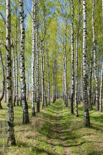 Birch-tree alley at spring forest - 102231208