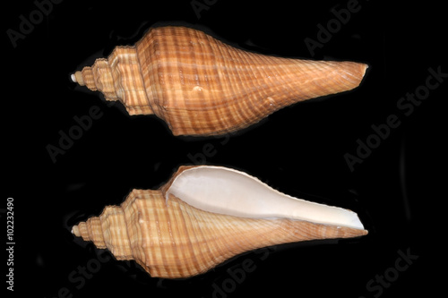 Hemifusus, a genus of marine gastropod mollusks in the family Melongenidae