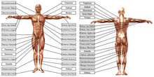 Vector 3D Man Muscle Anatomy W...