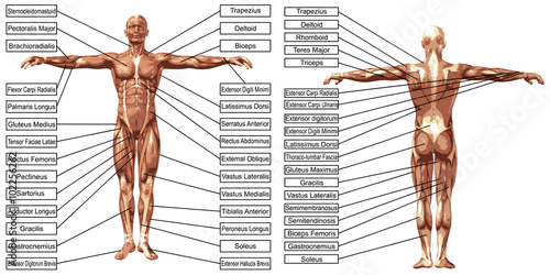 Vászonkép Vector 3D man muscle anatomy with text isolated