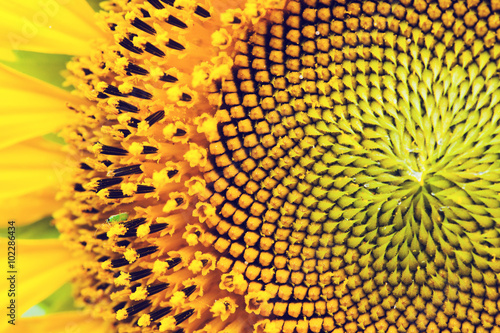 Keuken foto achterwand Draw close-up yellow sunflower