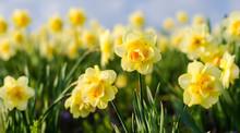 Duft- Und Blütenrausch: Leuchtend Gelbe Osterglocken :)