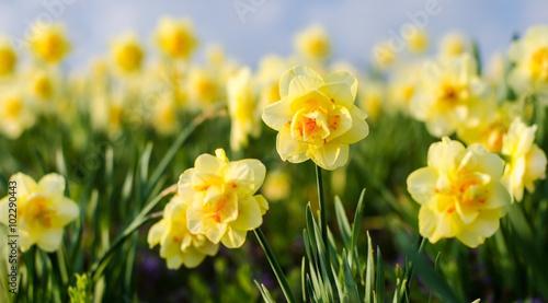 Spoed Foto op Canvas Narcis Duft- und Blütenrausch: leuchtend gelbe Osterglocken :)