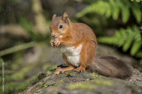 Foto op Canvas Eekhoorn Red squirrel, Sciurus vulgaris, on a tree trunk eating a nut