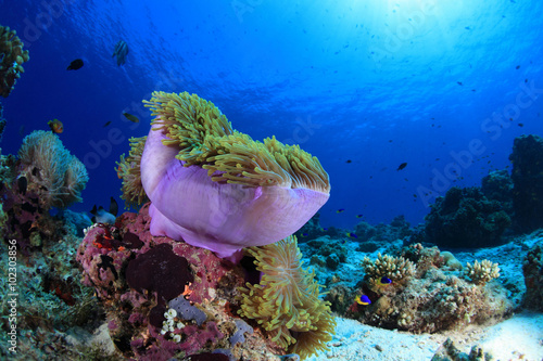 Sea anemone in the tropical coral reef Canvas Print