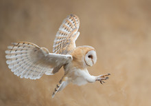 Barn Owl In Flight Before Atta...