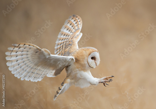 Spoed Fotobehang Uil Barn owl in flight before attack, clean background, Czech Republic