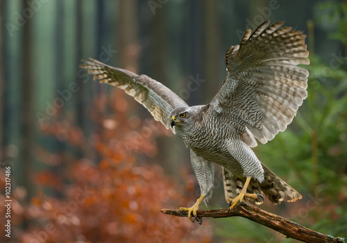 Photo  Northern goshawk perching, open wings, with colorfull forest background, Czech r
