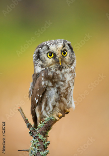 Keuken foto achterwand Uil Boreal owl perching, clean green-yellow background, Czech Republic