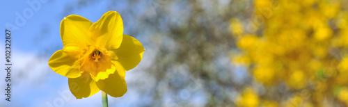 Fotoposter Narcis fleur de jonquille sur fond jardin