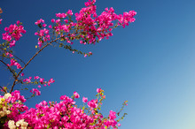 Pink Bougainvillea Flowering B...