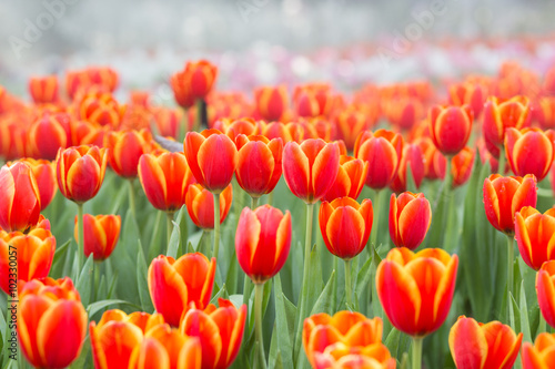 Tulip flower fields Canvas