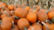 Pumpkins with dried corn stalks in the background, close up view