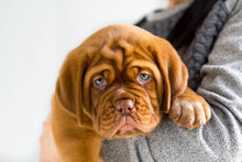 Dogue De Bordeaux Puppy In His...