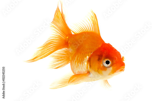 goldfish isolated on white background. Wallpaper Mural