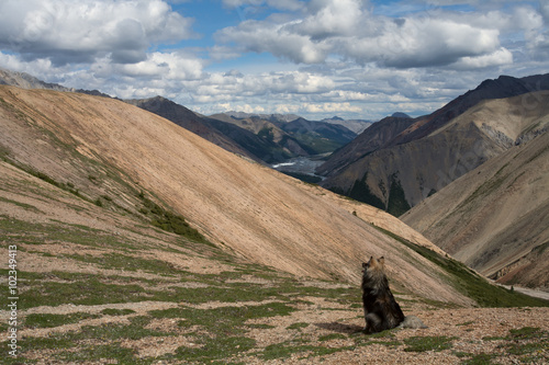 Plakat  Lonely dog on the top of the ridge