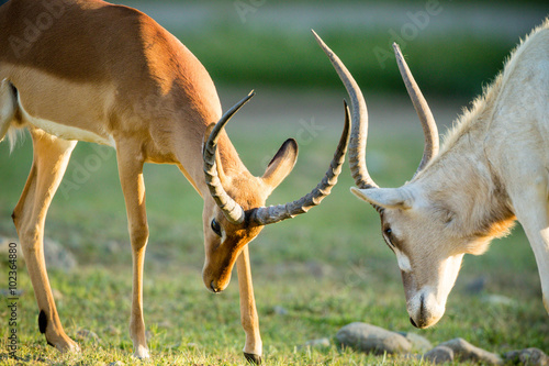 obraz dibond Antelope Fighting