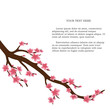 Japanese cherry tree isolated on a white background