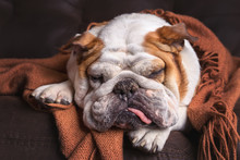 English Bulldog Dog Canine Pet On Brown Leather Couch Under Blanket Looking Sad Bored Lonely Sick Tired Exhausted