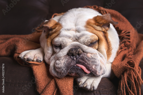 Photo  English Bulldog dog canine pet on brown leather couch under blanket looking sad