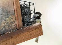 Carolina Chickadee (Poecile Ca...