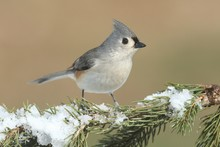 Titmouse In Snow