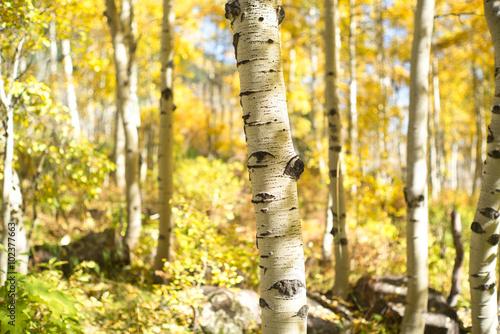Poster Berkbosje aspen trunk