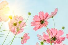Cosmos Flowers With Solar Sky