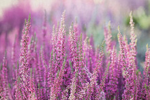 Heather Flowers. Small Violet ...