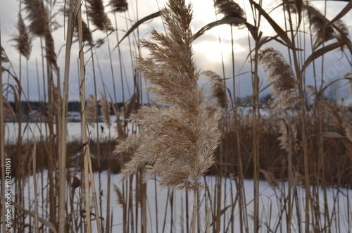 Fotografie, Obraz  Wild sedge on the lake in winter