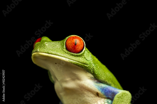 Tuinposter Kikker Close up of Red-eyed Green Tree Frog (Agalychnis callidryas)