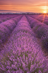 FototapetaSunrise over fields of lavender in the Provence, France