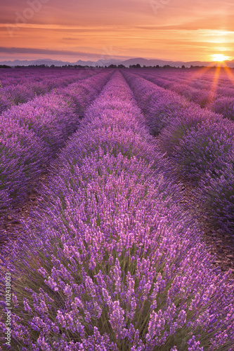 Tela  Sunrise over fields of lavender in the Provence, France