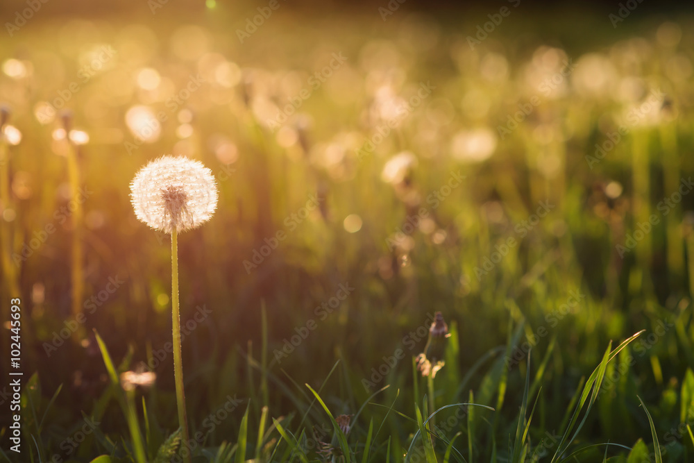 Photo  Green summer meadow with dandelions at sunset. Nature background