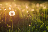Fototapeta Fototapety z naturą - Green summer meadow with dandelions at sunset. Nature background