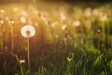 Green Summer Meadow With Dande...