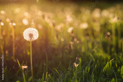 Poster Printemps Green summer meadow with dandelions at sunset. Nature background
