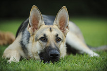 German Shepherd Lying Down With Head Down In The Grass