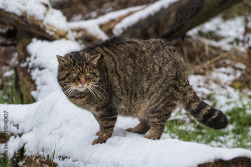 Photo  Scottish Wildcat on Tree Branch Covered in Snow.