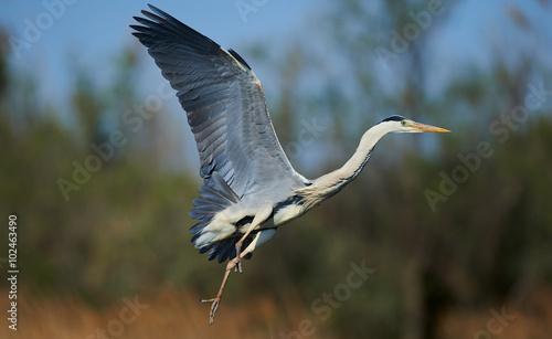 Fotografia Grey heron in flight